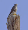 Prairie Falcon by NatureNM