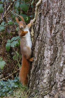 Red Squirrel 02 | by Mike G Photos