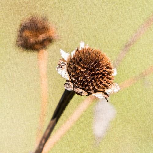 plants wildflowers weeds flowerheads dead dried deadheads macro texture jumpinjimmyjava picmonkey