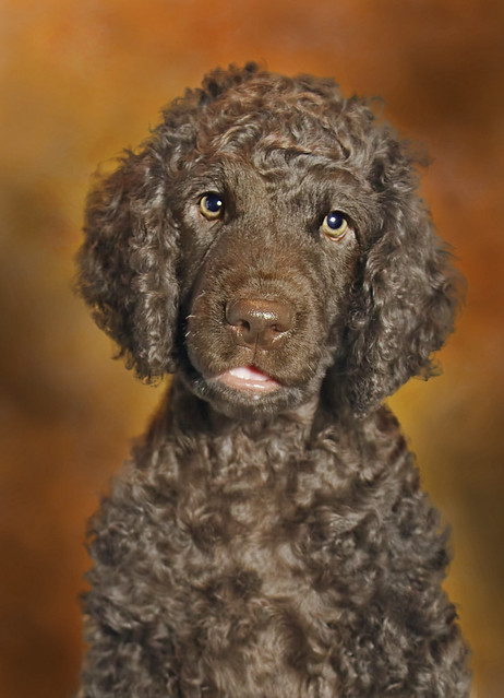 Irish Water Spaniel Pictures and Informations - Dog-Breeds.com