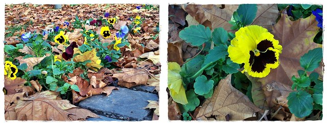 Remember..pansy-utolsó őszi árvácskák