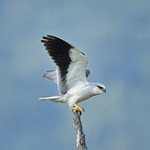 黑翅鳶 Black-winged Kite