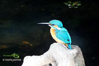 Common Kingfisher (Alcedo atthis) - পাতি মাছরাঙা   by Poribesh.com