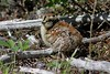 1.01394 Tétras du Canada (poussin) / Falcipennis canadensis canadensis / Spruce Grouse (chick) by Laval Roy off until 07/08/2019