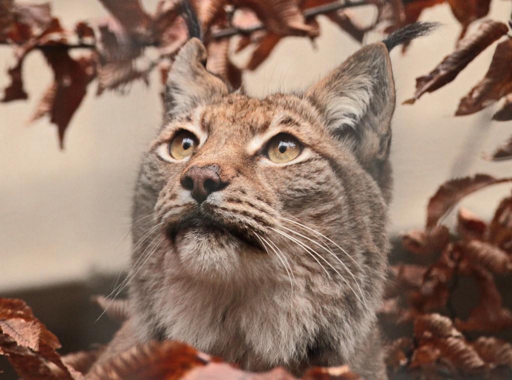 Europese lynx Tilda Artis IMG_0010
