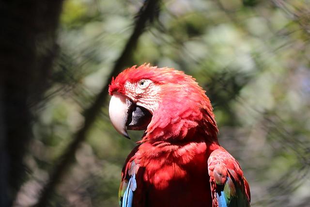 Series, animal Zoo in São Paulo (Brazil). Arara Vermelha...unfiltered, unedited!
