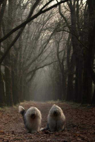 morning mist fog landscape bobtail overijssel landschap oes oldenglishsheepdog beerze vechtdal landschapoverijssel dewollewei overijsselsvechtdal vechtdaloverijssel sophieandsarah sophieensarah