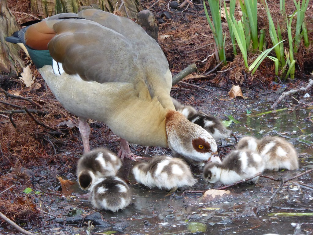 Egyptian Goose with young chicks, Kew Gardens, London, England, Feb 2015