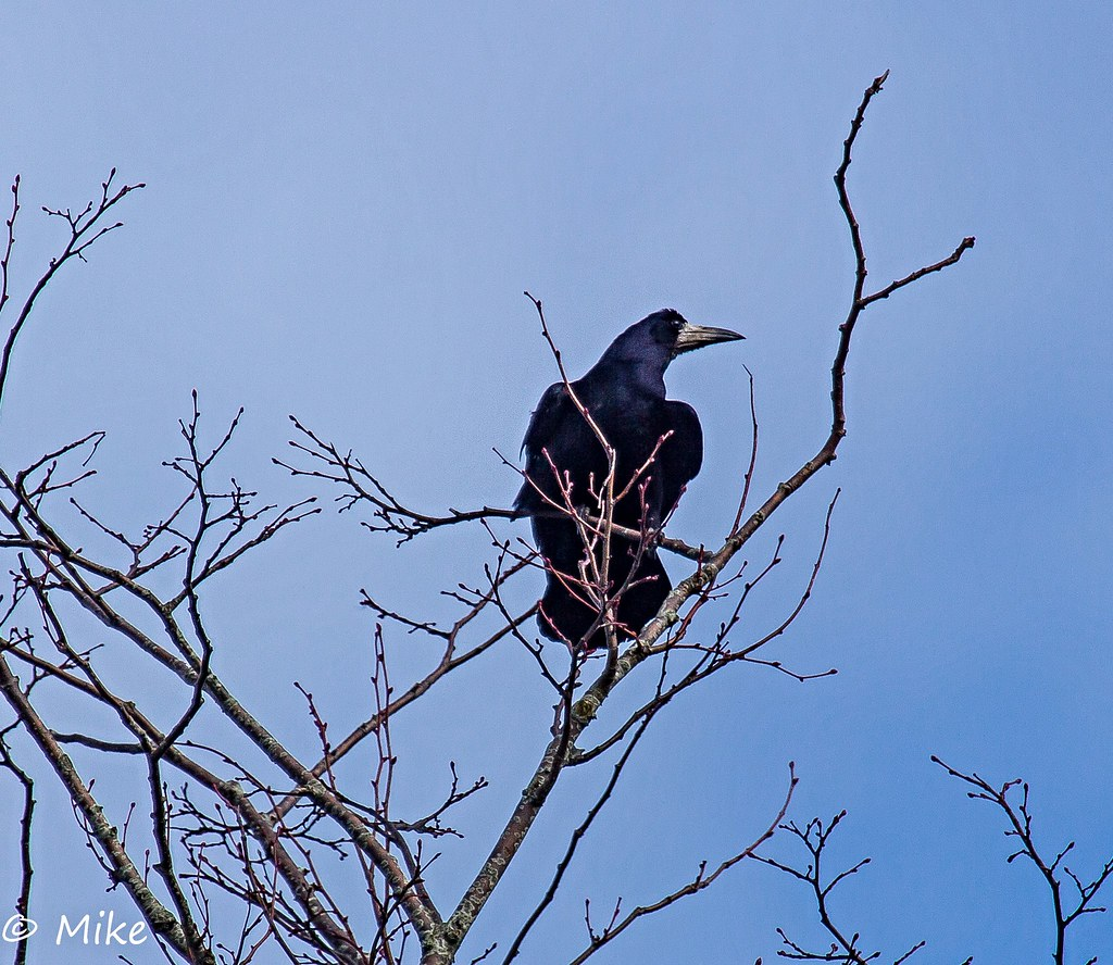 Rook at the top of his tree