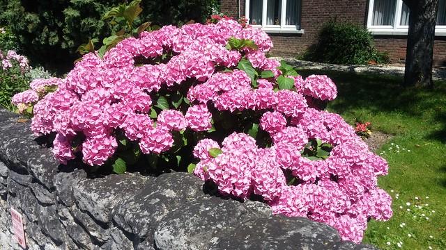 Hydrangea. Maastricht