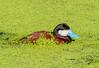 Ruddy Duck - Oxyura jamaicensis (Anatidae) 112s-10461 by Perk's images