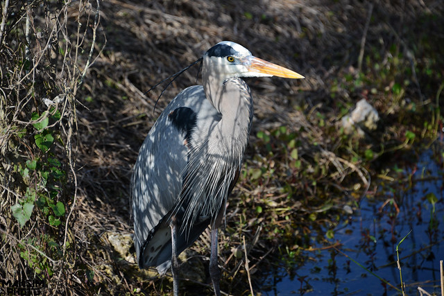 Blue Herron Looking For Lunch