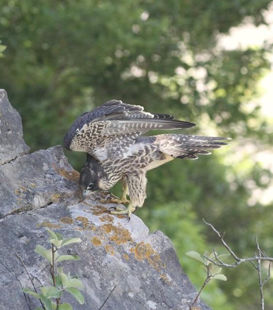Cheddar Gorge 22nd July 2018 Peregrine Falcons