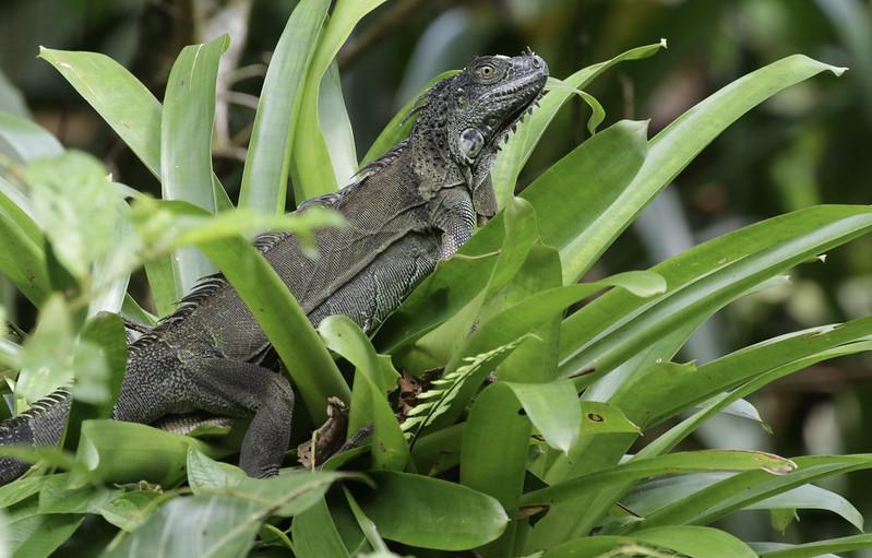 Green Iguana, Iguana iguana_199A6673