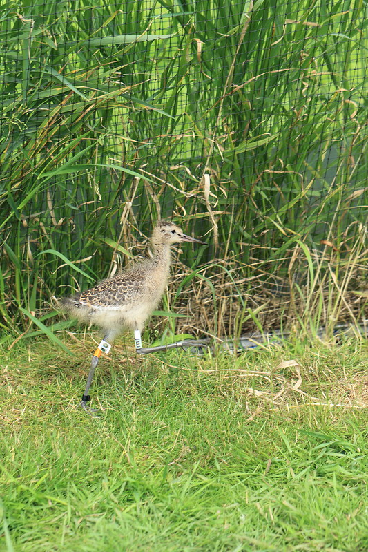 WE-GT-2018 Project Godwit chick WfY-WL(E)