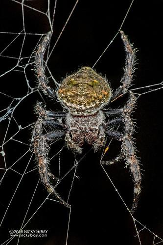 Broad-headed bark spider (Caerostris darwini) - DSC_6642 | by nickybay