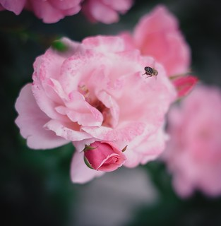 Flight over rose bloom | by Pavel Valchev