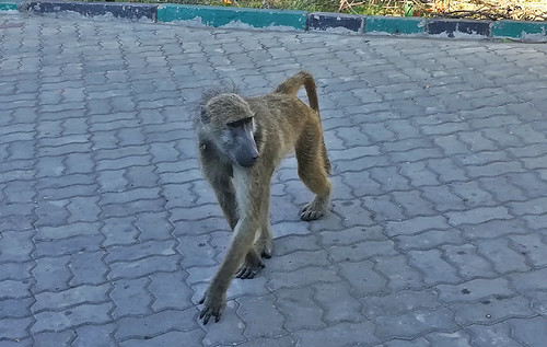 baboon-victoria-falls | by quirkytravelguy
