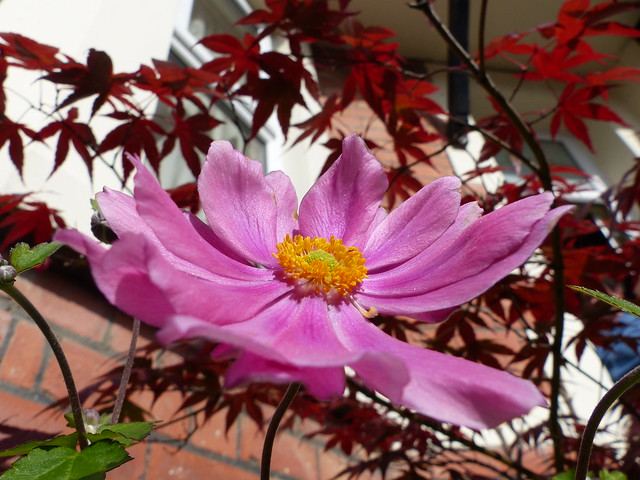 Anemone and acer