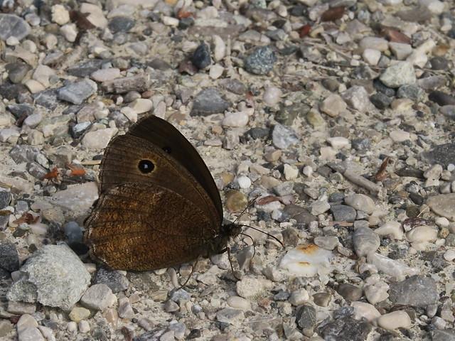 Großes Ochsenauge - Männchen - Meadow brown