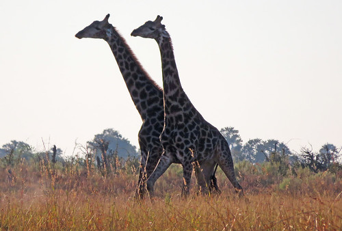 giraffes-fighting-africa | by quirkytravelguy