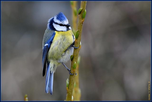 Mésange bleue ( Cyanistes caeruleus )