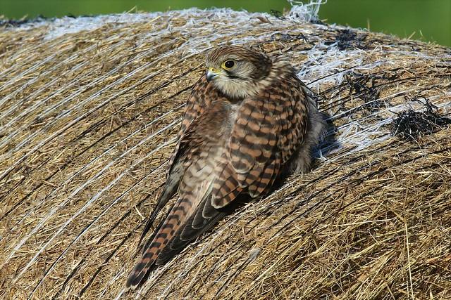 Kestrel (Falco tinnunculus) on the entrance track Dungeness RSPB