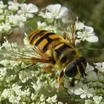 Totenkopfschwebfliege (Dead Head Fly, Myathropa florea)