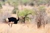 Somali Ostrich by rhysmarsh