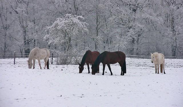 Winter - Rund um Leonberg, Pferde auf der Solitude-Koppel, 73225/4658