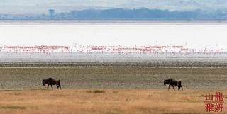 Wildebeest walking past Lesser Flamingos   by DragonSpeed