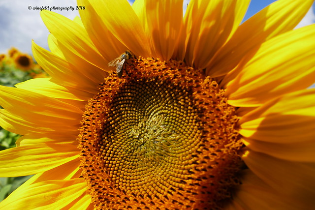Sonnenblume (Helianthus annuus) / Sunflower