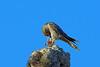 Banded Kestrel, Ifaty, Madagascar by Terathopius