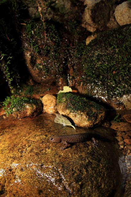 Hida salamander