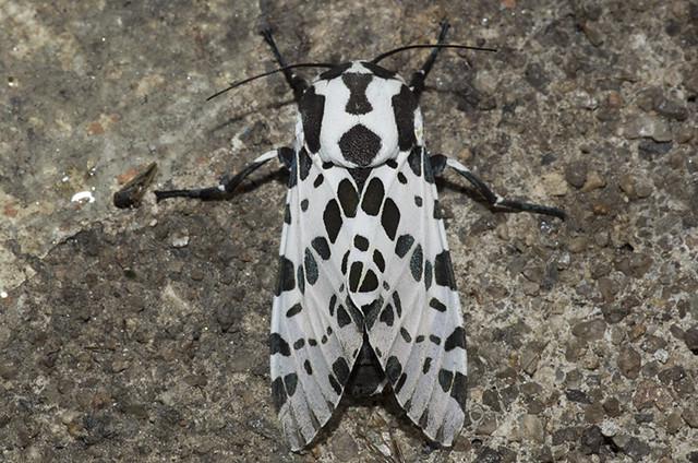 Hypercompe braziliensis (Erebidae, Arctiini) b