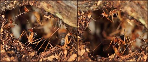 australia ants seqld subfamilydolichoderinae familyformicidae redspiderant leptomyrmexrufipes