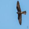Dark morph Eleonora's Falcon (Falco eleonorae)-0740 by Stein Arne Jensen