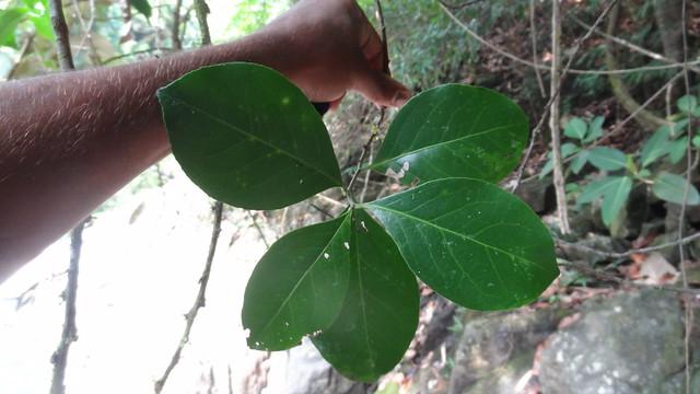 Maytenus rothiana (2)