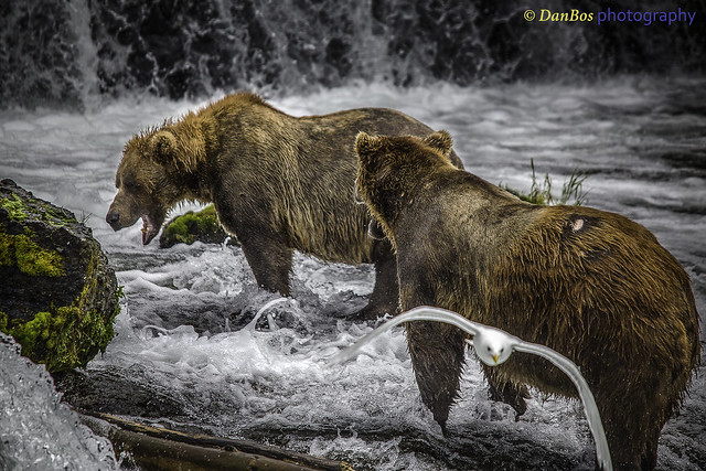Dispute between Bears