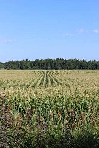 qc québec quebec canada monteregie corn mais maize field agriculture