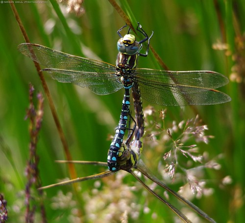 dragonflies mating common Hawkers, Aeshna juncea. (11) | by Simon Dell Photography