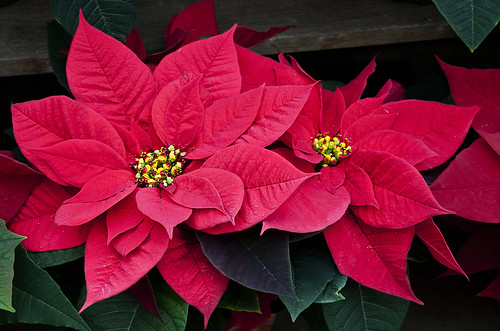 poinsettias | by Muffet
