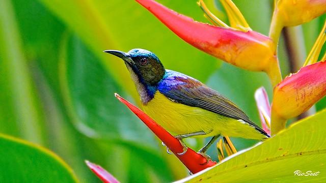 Brown Sunbird