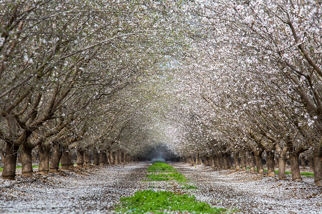 Row of almond blossoms along highway 120, on the way to Yosemite