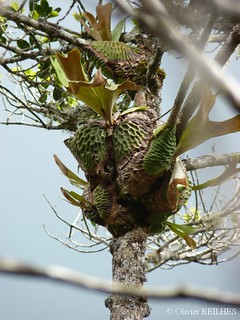 Platycerium madagascariensis | by olivier.reilhes