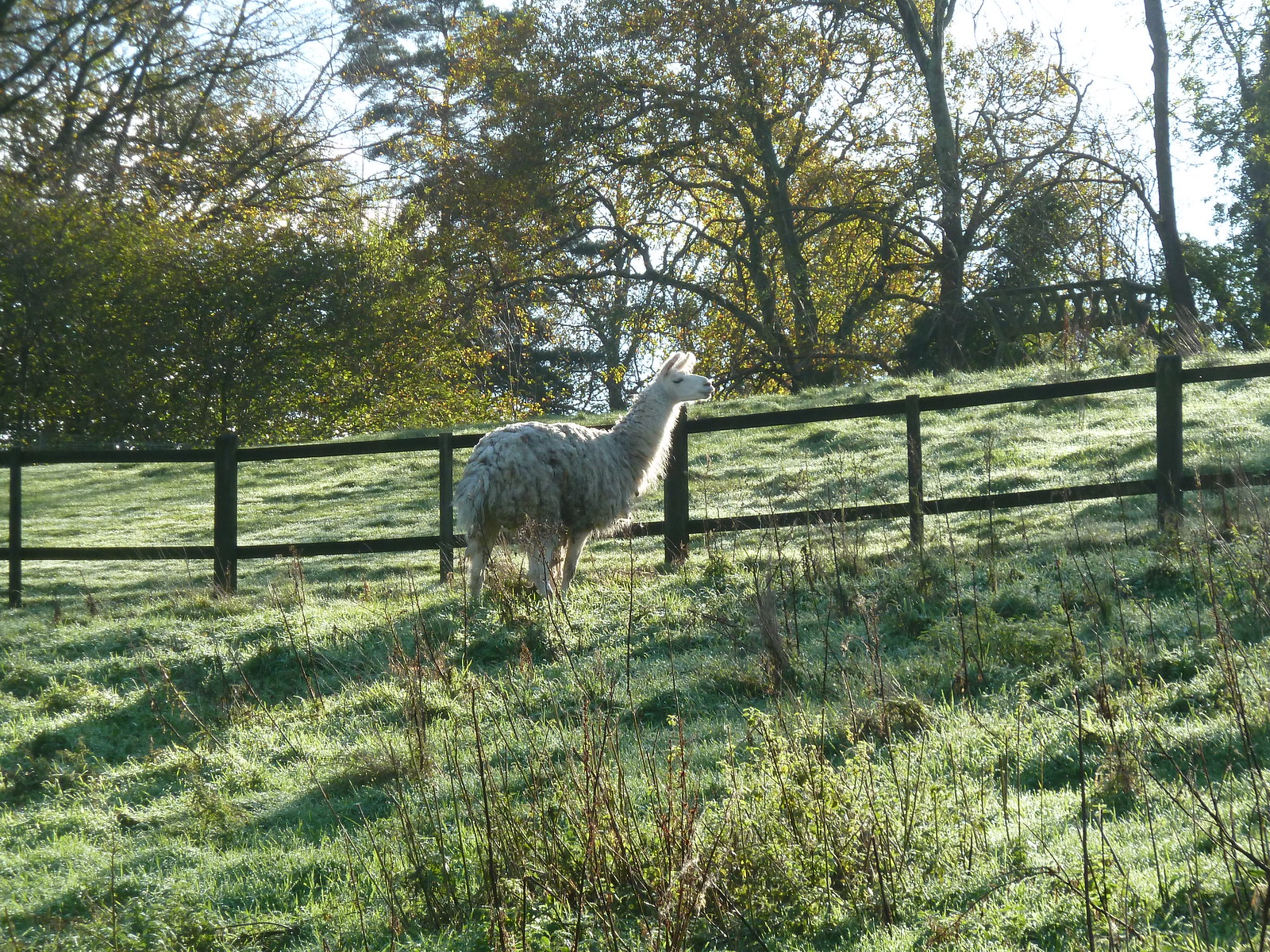Llama Morning (Milford to Godalming)