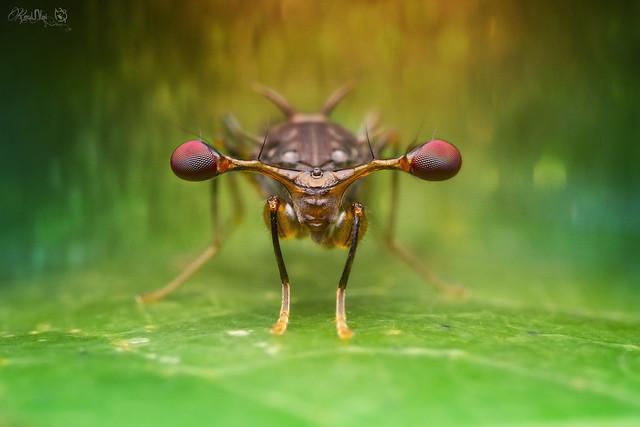 Stalk Eye Fly