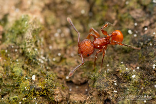 Ant (Pristomyrmex sp.) - DSC_2140