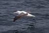 Southern Royal Albatross in the Drake Passage IMG_1982 by grebberg
