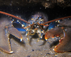 HolderEuropean lobster. Credit: Dr Leigh Howarth